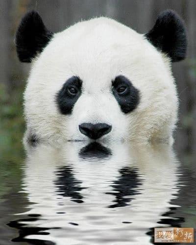 Ingen panda i sikte!